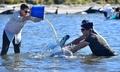 浜辺にクジラ400頭以上打ち上げ NZ「過去最大規模」