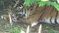 動画:片足のないスマトラトラが出産 インドネシア