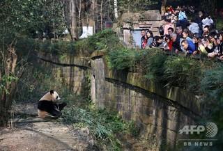 パンダ観覧エリアに女児転落、パンダ集まる中救助される 四川