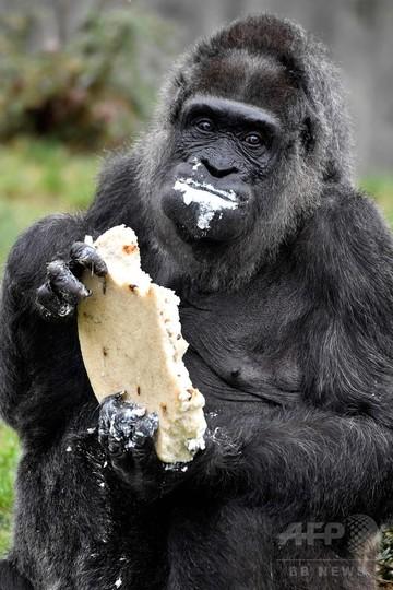 欧州最高齢のゴリラが61歳に、バースデーケーキをホール食い