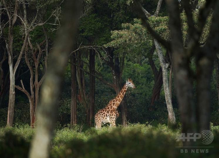 野生動物に最大の絶滅危機、人類がもたらす 科学誌
