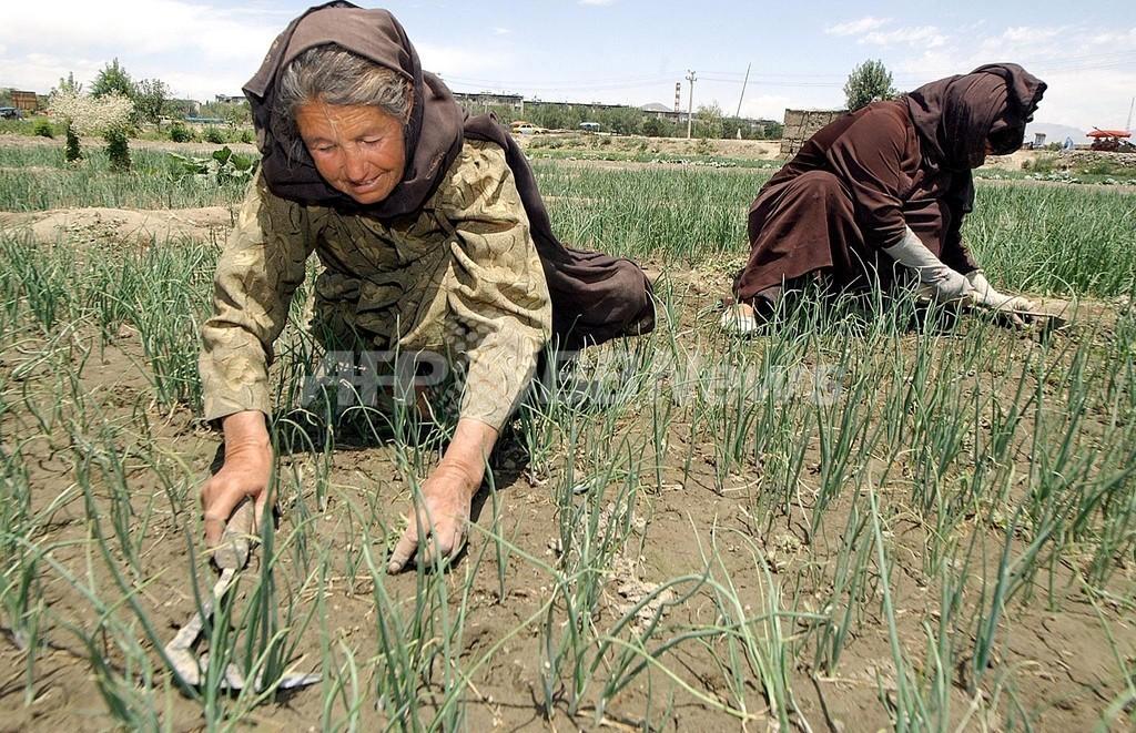 雑草のゲノム解読、穀草類・バイオ燃料増産のカギとなるか