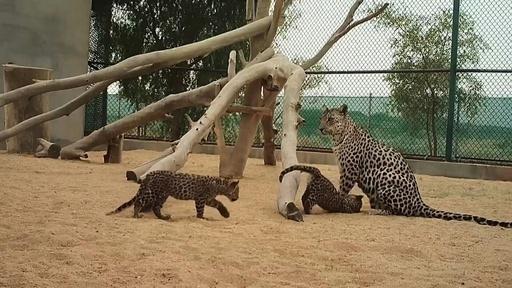 動画:希少種のアラビアヒョウ、赤ちゃん2頭誕生 サウジアラビア