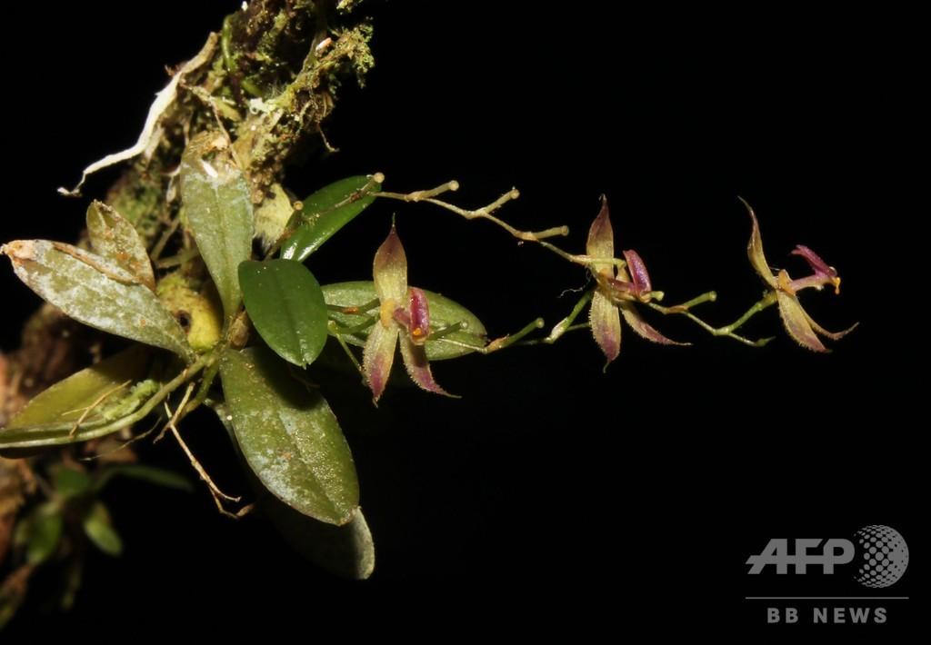 アマゾン熱帯雨林で新種のラン発見、ペルー