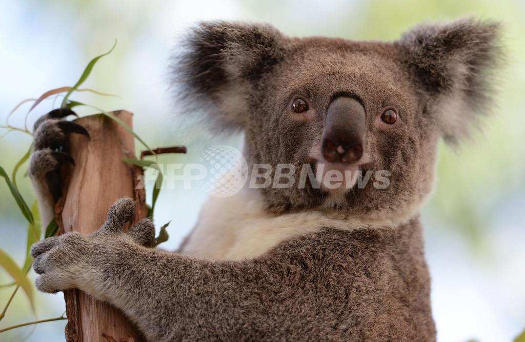 動物園のコアラ、木の枝に座ってご機嫌 シドニー