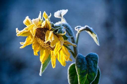 ヒマワリに霜…移ろいゆく季節 独北部
