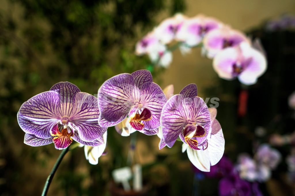 開花のピーク迎えたラン、エルサルバドルで展示会