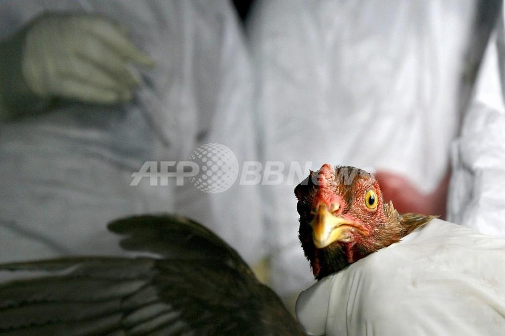 鳥インフル、二次感染させないニワトリを開発 英大学