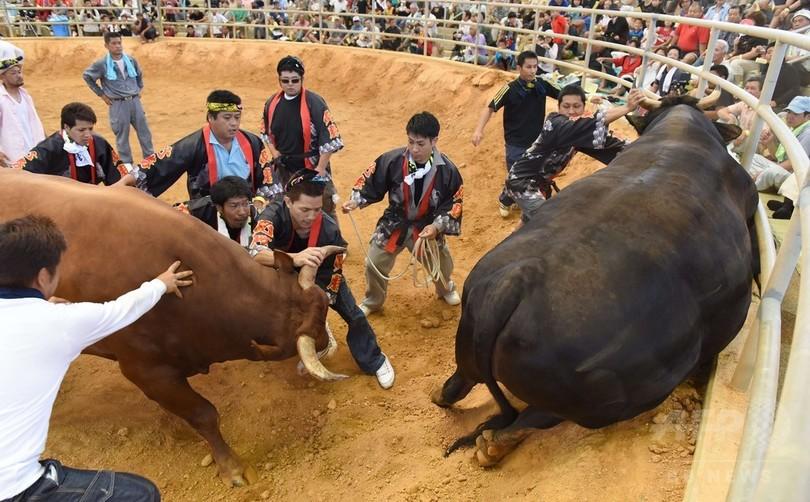 沖縄闘牛「ウシオーラセー」、横綱目指し手厚く育てる