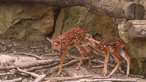 動画:バンビちゃん! 動物園にシカの赤ちゃん2頭仲間入り オーストリア