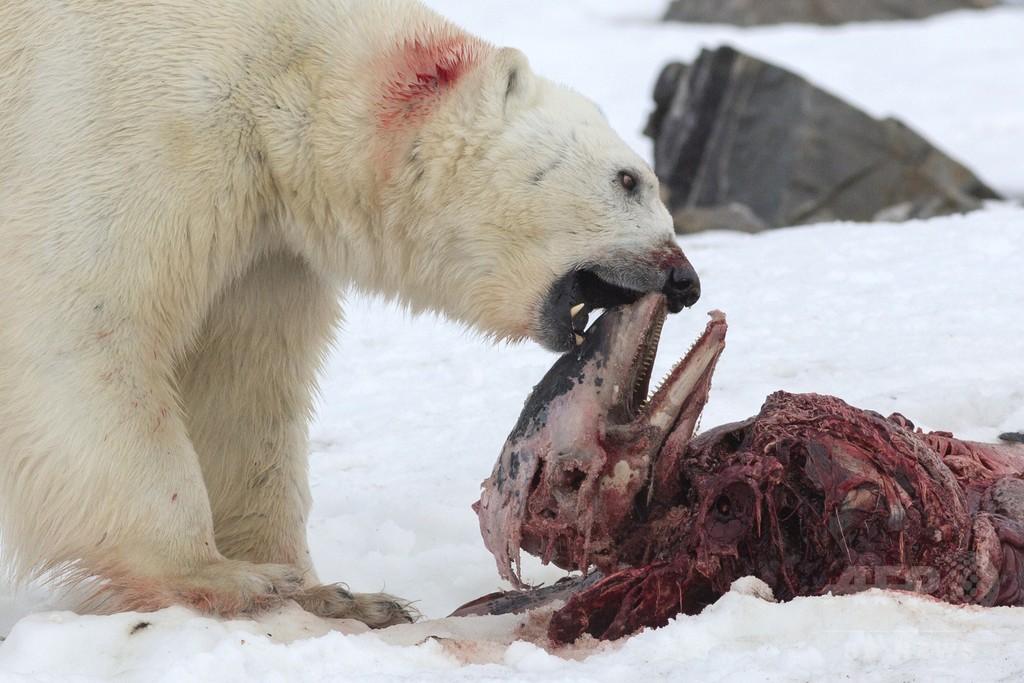 史上初観察、ホッキョクグマがイルカを捕食