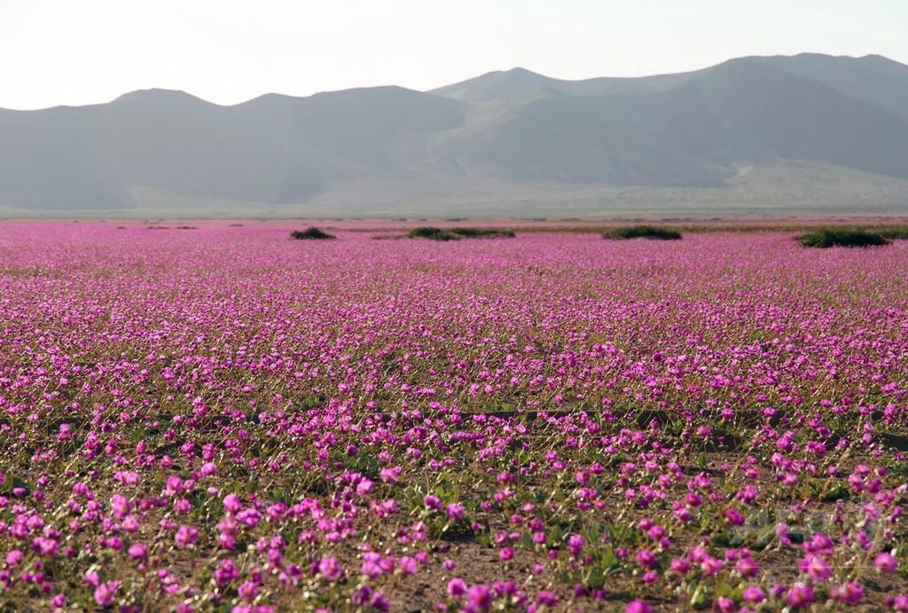 エルニーニョ現象の思わぬ贈り物、砂漠に一面咲き乱れる花々 チリ