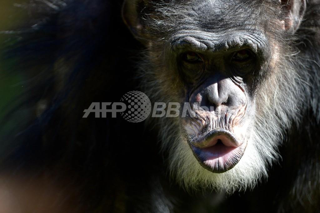 「チンパンジーを人と認めて」、米3裁判所にNPOが申し立て