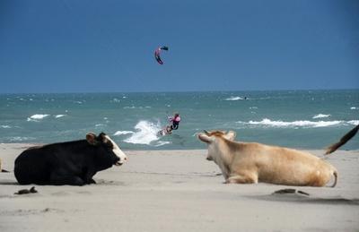 ビーチでくつろぐ牛、モンテネグロ