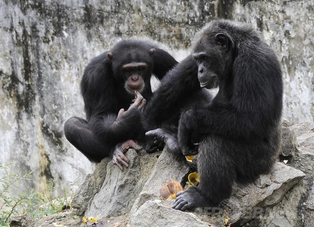 チンパンジーの「手話」を一部解読、英研究チーム