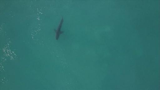 動画:サメ出現でサーフ大会中断、サーファー尻目に悠々ジャンプ 南ア