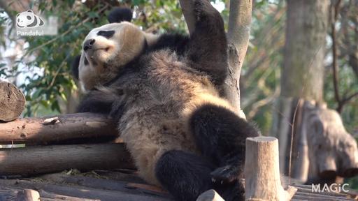 動画:【パンダフル】の~んびり日なたぼっこ…いい気分
