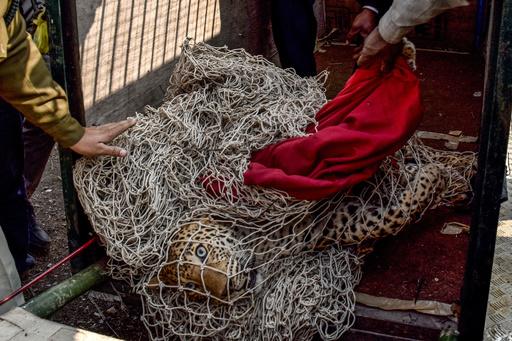 動画:有刺鉄線に絡まったヒョウを救出、インド 救出時の映像