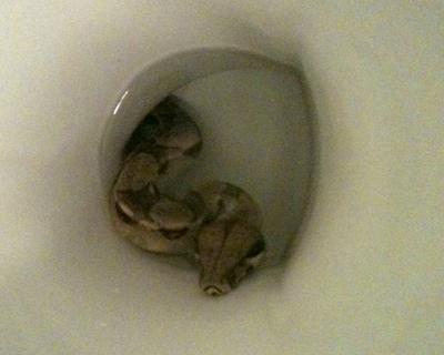 トイレのふたを開けたら大蛇が・・・汚水管に姿消す、ドイツ