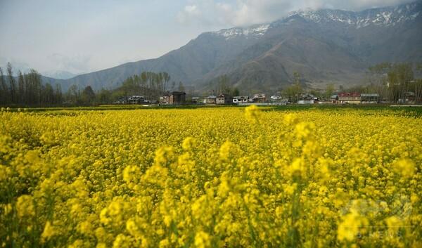 一面の黄色いじゅうたん、印カシミール地方でカラシナが満開