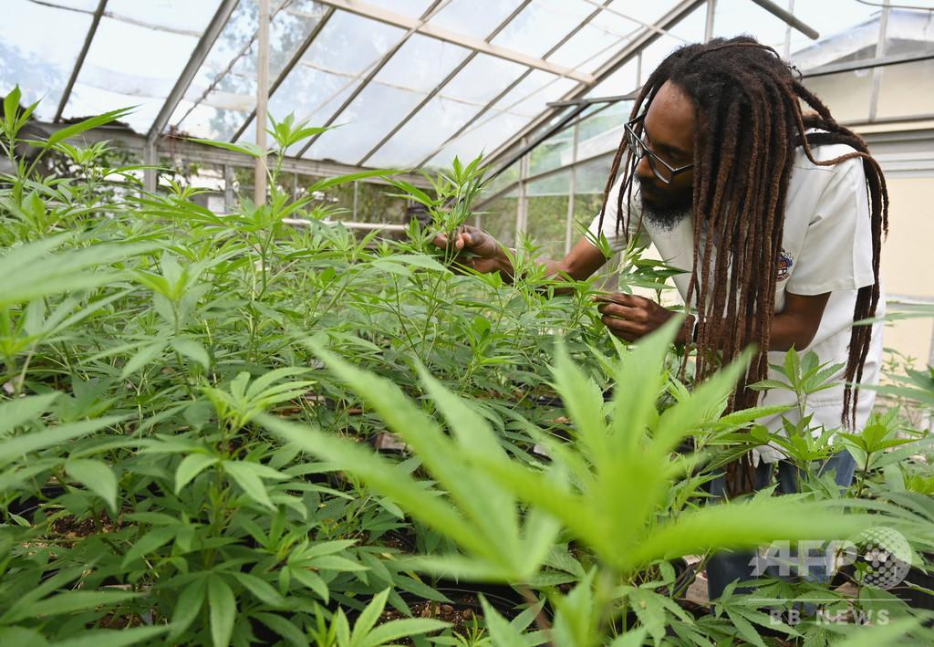 ボブ・マーリーも吸った幻の在来種大麻を現代に、ある研究者の挑戦 ジャマイカ