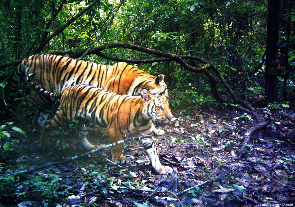 野生インドシナトラの繁殖、タイで世界2例目の確認 「奇跡的」