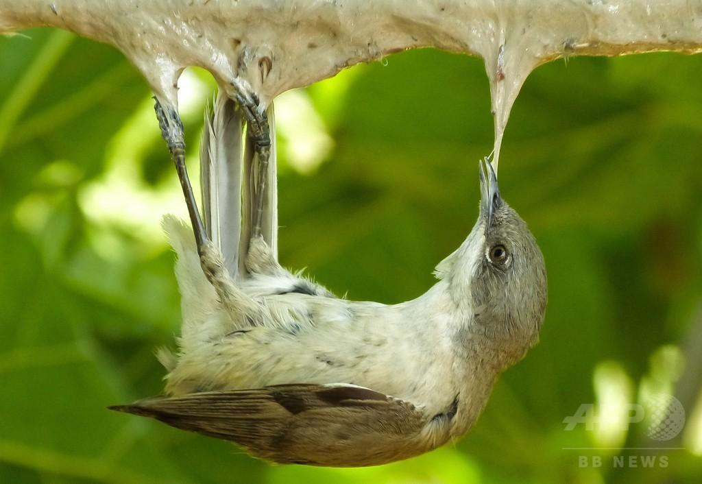 昨秋キプロスで違法捕獲の渡り鳥、200万羽超