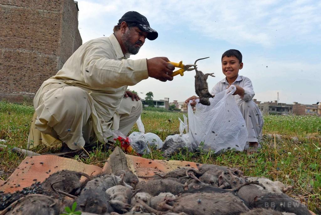 巨大ネズミ大発生との闘いも最前線、パキスタン・ペシャワル