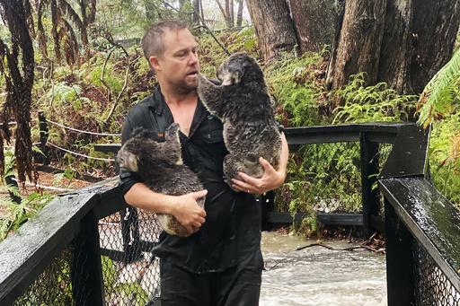 豪コアラ災難、森林火災の脅威が一転ずぶぬれ 洪水の危機