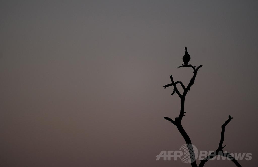動物の警戒声をまね餌奪うアフリカの鳥「クロオウチュウ」