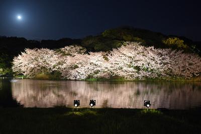 妖艶な夜桜、湖面にも 横浜で「観桜の夕べ」