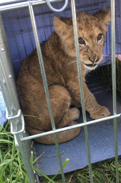 おりに入った捨てライオン見つかる、警察が捜査 オランダ