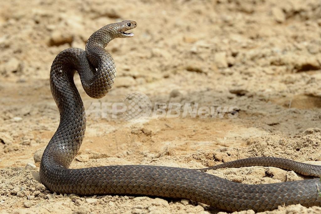毒ヘビにかまれたホッケー選手が死亡、オーストラリア