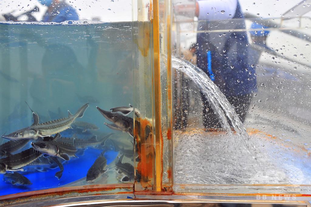 1万匹の希少魚類「カラチョウザメ」を長江に放流 中国・湖北省