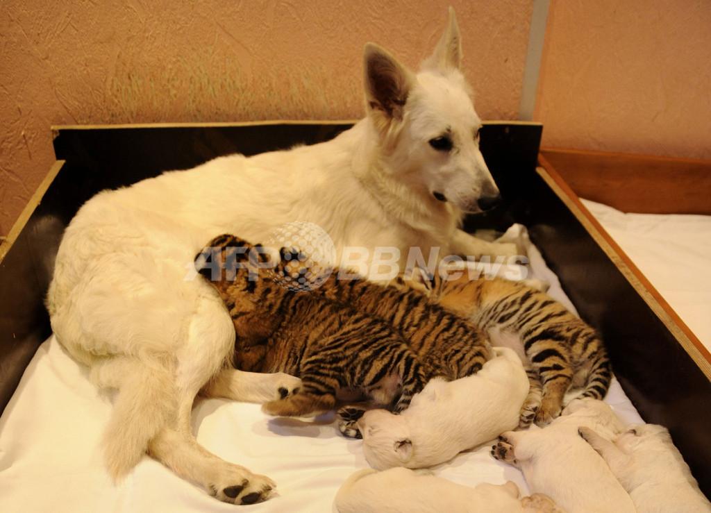 トラの赤ちゃんを育てるホワイトシェパード、露ソチ