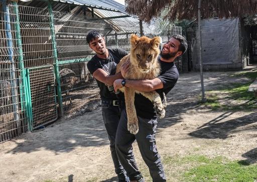 ライオンと触れ合えるガザ地区の動物園 爪を除去する行為に非難も