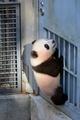 元気にすくすく! 上野の赤ちゃんパンダ「シャンシャン」