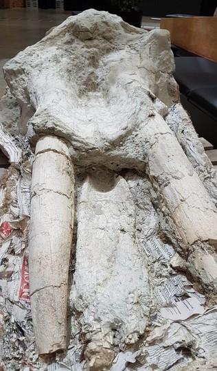 絶滅したゾウ祖先の希少な頭骨化石、仏農場で発見 世界初