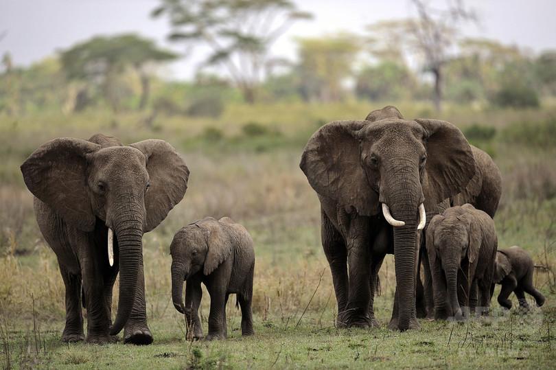アフリカで違法象牙を買いあさる中国外交団、NGO報告