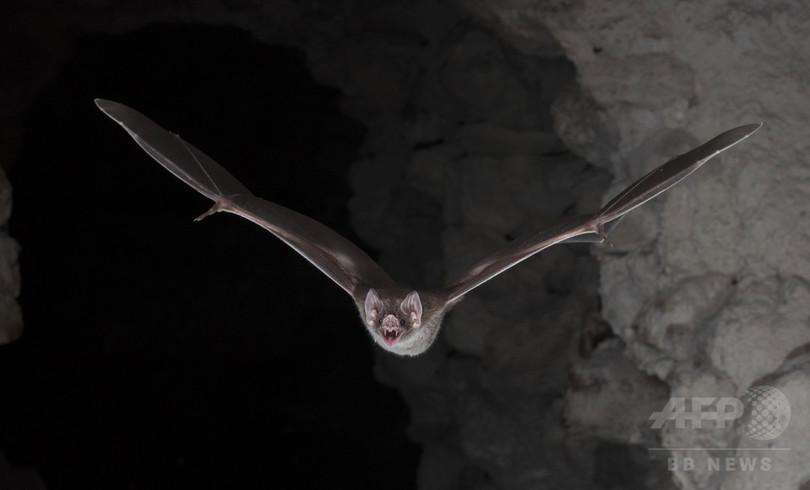 吸血コウモリは「進化の成功者」 研究