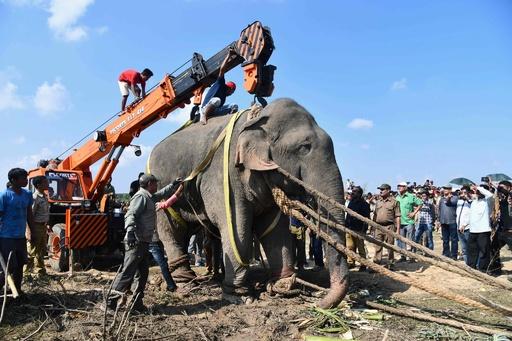 ビンラディンと恐れられた殺人ゾウ、「クリシュナ」に改名し飼育下に インド