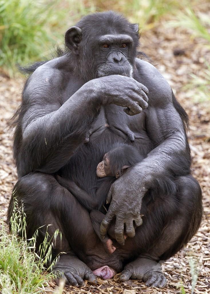 臨月のチンパンジーが「孤児」を「養子」に、豪動物園