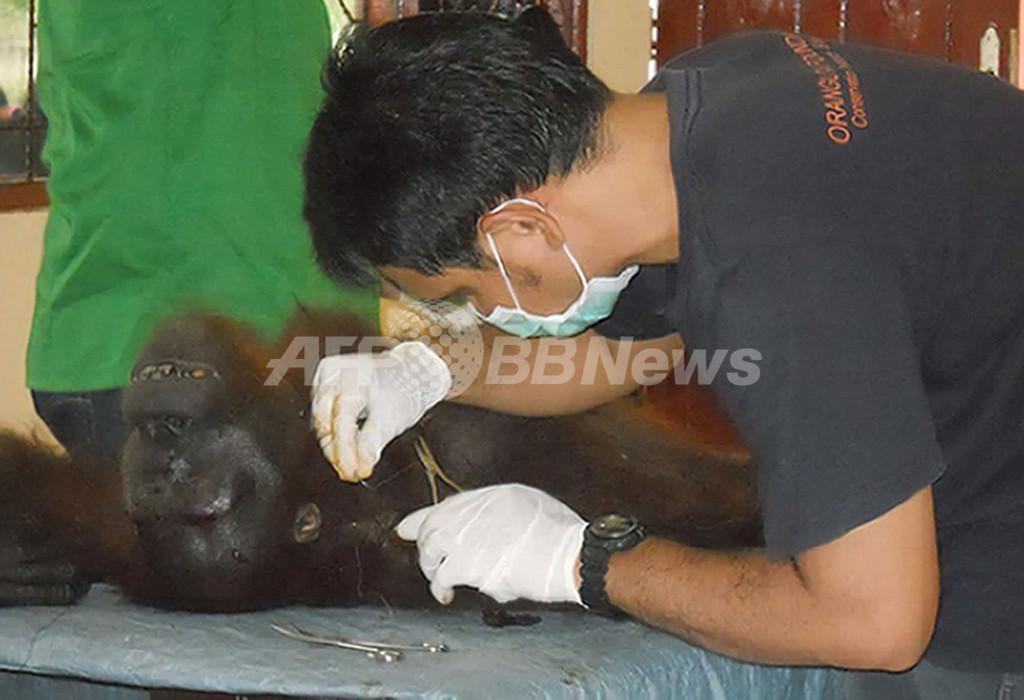 104発撃たれたオランウータン、奇跡的に生き延びる インドネシア