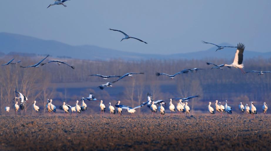 今年の渡り鳥の中にコウノトリ400羽余りを確認 黒竜江省の興凱湖