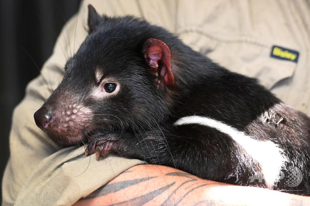 伝染性がんに驚異的速さで適応、絶滅危惧種タスマニアデビル