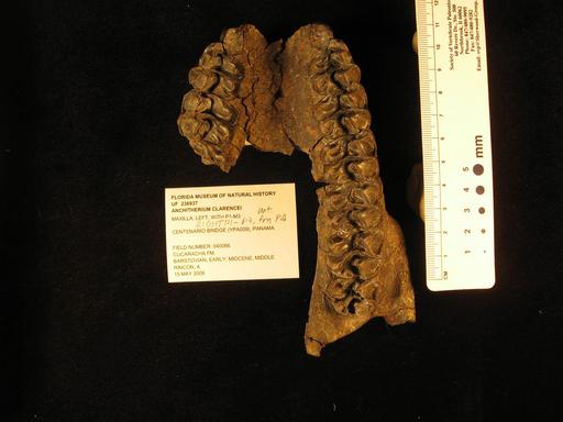 古代種のウマの化石発見、パナマ運河の拡張工事で