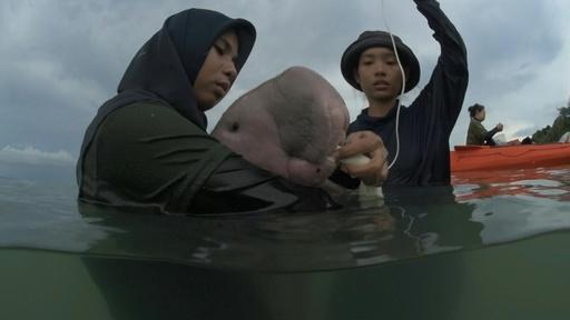 動画:タイでジュゴンの赤ちゃん保護、海洋保全活動の象徴的存在に 保護活動の映像