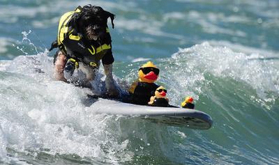 【写真特集】かわいいだけじゃない!波を乗りこなすサーフィン犬