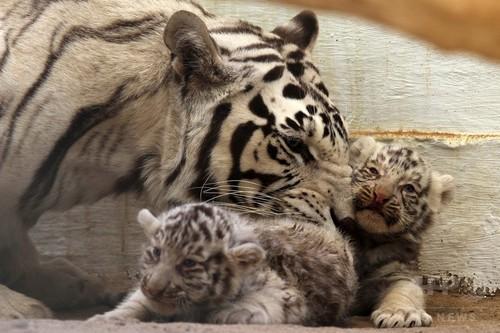 お母さんのそばが一番!ホワイトタイガーの双子公開、メキシコ