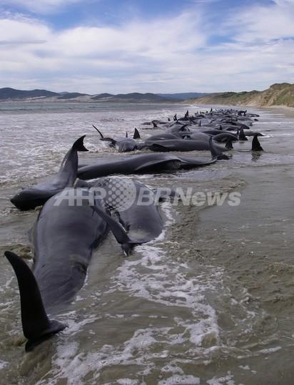 クジラの集団座礁、「家族の助け合い」ではなかった 国際研究